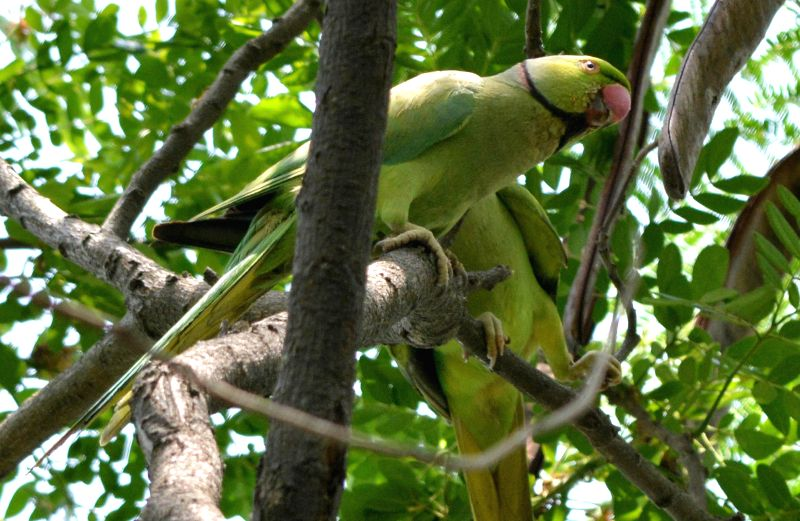 Parrots perched on a tree in Guwahati on May 14, 2014.