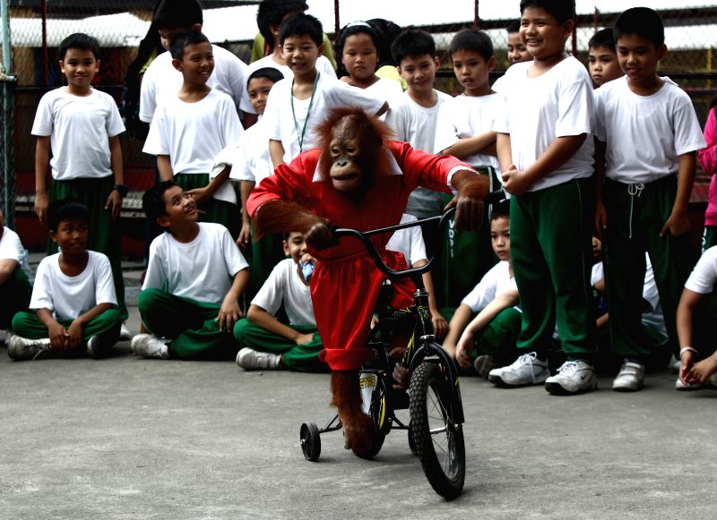 Pasay (Philippines): A five-year-old orangutan named `Orange` who wears a Santa Claus costume rides a bicycle to entertain children during the Christmas season inside a zoo in Pasay City, the ...
