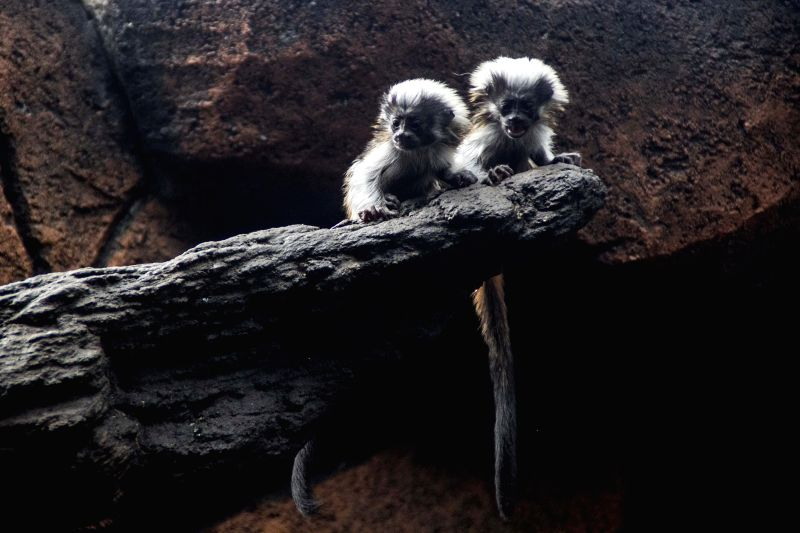 PASURUAN, July 30, 2016 - Twin baby cotton top tamarins stay inside a cage at Prigen Zoopark in Pasuruan, East Java, Indonesia, July 30, 2016. The twin cotton top tamarins, one of the world's ...
