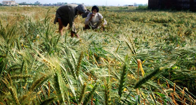 A farmer takes stock of the damage caused to his crops by the recent rains in Dinanagar near Pathankot on March 30, 2015.