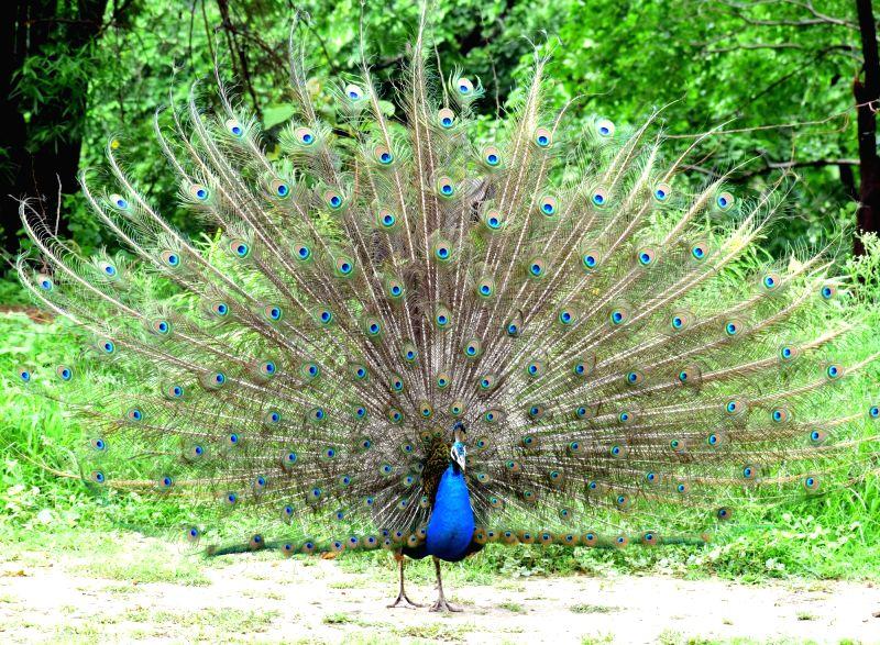 Peacock. (File Photo: IANS)