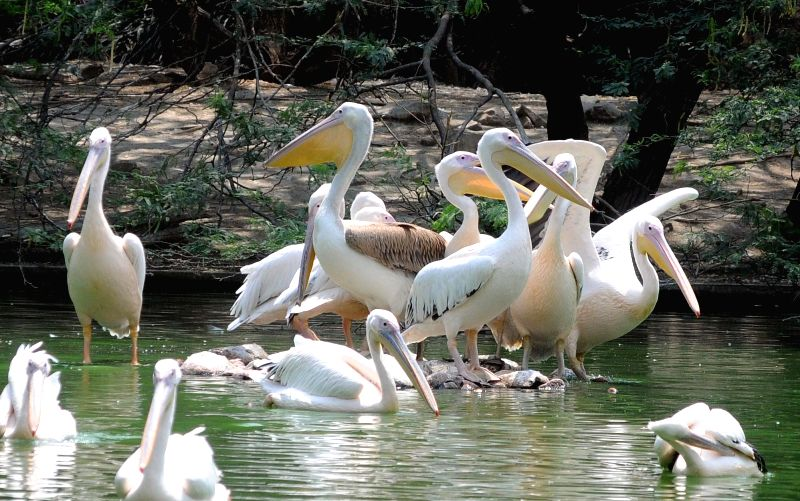 Pelican beat the heat on a hot day at Delhi Zoo in New Delhi, on May 12, 2016.