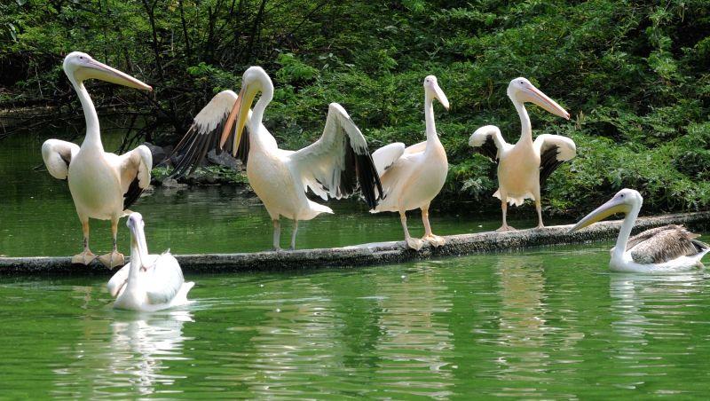 Pelican. (File Photo: IANS)