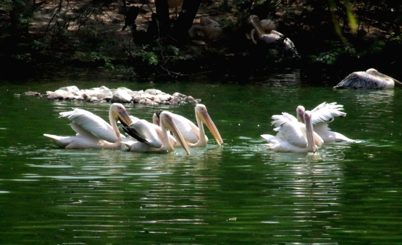 Pelicans beat the heat on a hot day at Delhi zoo on May 22, 2016.