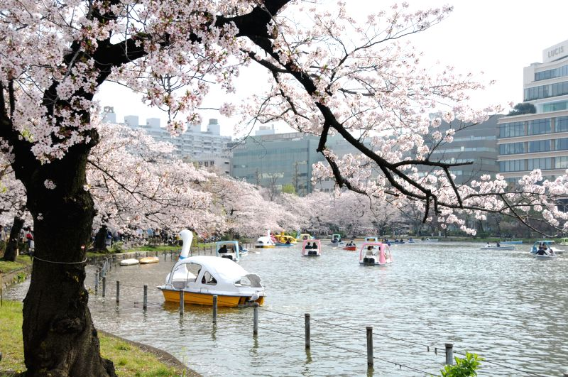 People enjoying Cherry Blossom in full bloom in Japan