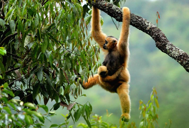 Photo taken on July 13, 2012 shows a eastern black crested gibbon resting on a tree branch at the Wuliang Mountain National Nature Reserve in Jingdong Yi ...