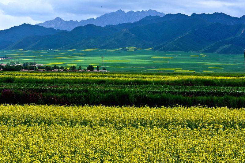 Photo taken on July 14, 2015 shows blooming rape flowers in Minle County, northwest China's Gansu Province. (Xinhua/Wang Jiang)