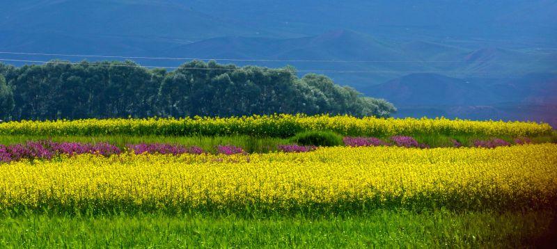 Photo taken on July 14, 2015 shows blooming rape flowers in Minle County of Zhangye City, northwest China's Gansu Province. (Xinhua/Wang Jiang)