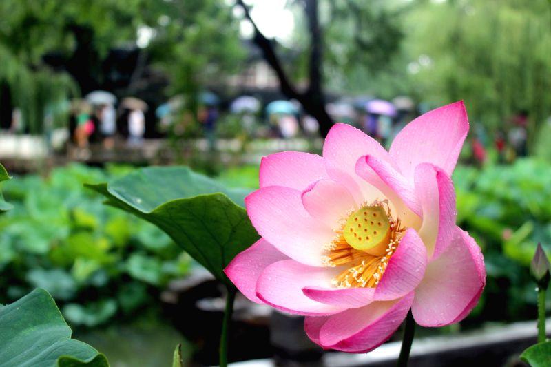 Photo taken on June 28, 2015 shows a lotus flower at the Zhuozheng Yuan Garden, a famous ancient garden in Suzhou, east China's Jiangsu Province. The 20th Lotus ...