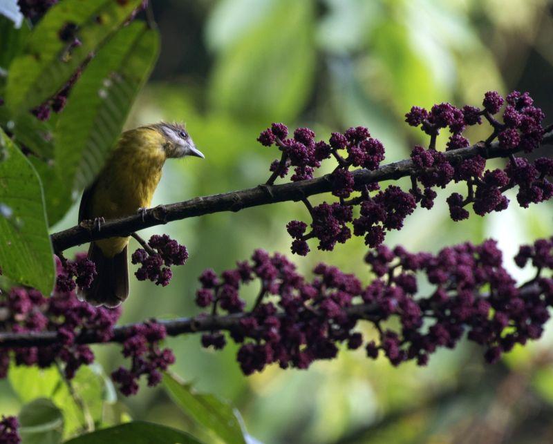 Photograph of an interaction between a frugivorous bird and a fruiting plant(photo:Abir Jain)