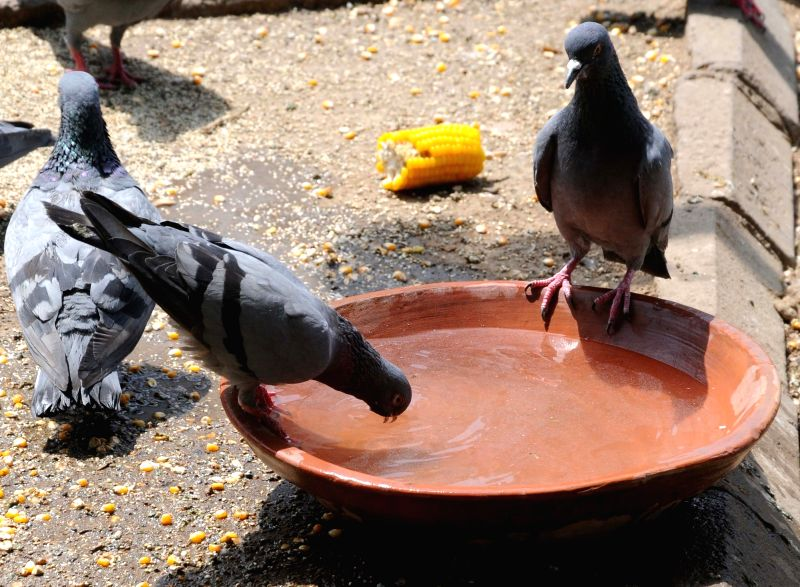 Pigeons drink water from an earthern vessel on a hot day in New Delhi on May 13, 2016.