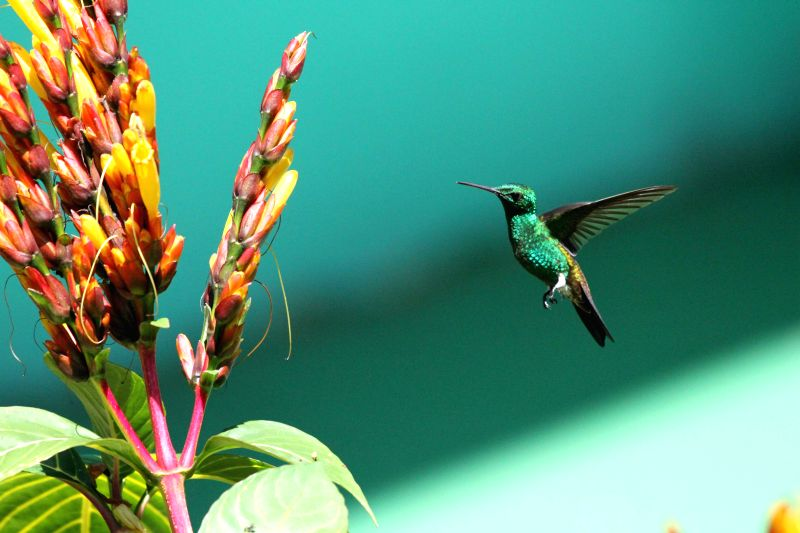 A hummingbird looks for food in Asa Wright Nature Centre in Arima, Trinidad and Tobago, on March 8, 2015.