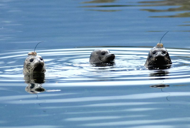 Porteau Cove (Canada): Rescued and rehabilitated seal pups, equipped with satellite-linked transmitters, were released into the Pacific Ocean waters, in Porteau Cove, Canada, Nov. 20, 2014. The ...