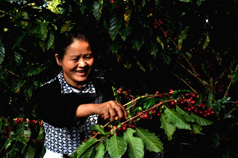 PU'Coffee growers pick fresh coffee fruits in a plantation in Pu'er, southwest China's Yunnan Province, Jan. 12, 2015. Pu'er, a major coffee producing area in China, ...