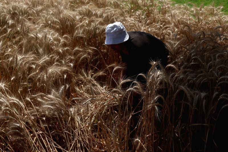 QALYUBIA (EGYPT), May 2, 2017 An Egyptian farmer harvests wheat in Qalyubia Governorate, 40 kilometers north of Cairo, Egypt, on May 2, 2017. The wheat harvest season in Egypt starts in ...