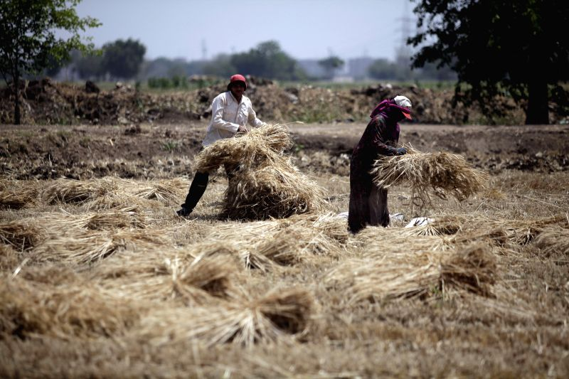 QALYUBIA (EGYPT), May 2, 2017 Egyptian farmers work at a wheat field in Qalyubia Governorate, 40 kilometers north of Cairo, Egypt, on May 2, 2017. The wheat harvest season in Egypt starts ...