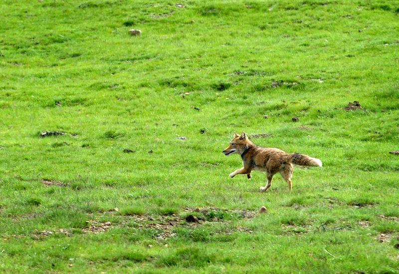 A fox runs on the grassland in Zuogong County of Qamdo Prefecture, southwest China's Tibet Autonomous Region, July 10, 2014.