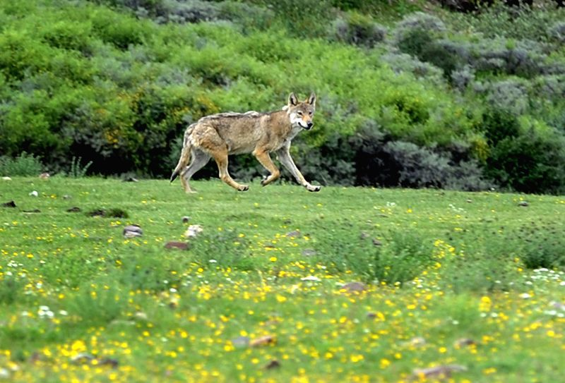 A wolf walks on the grassland in Zuogong County of Qamdo Prefecture, southwest China's Tibet Autonomous Region, July 10, 2014.