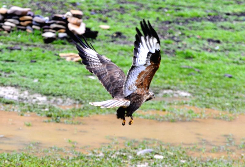 An eagle flies over the grassland in Zuogong County of Qamdo Prefecture, southwest China's Tibet Autonomous Region, July 11, 2014.