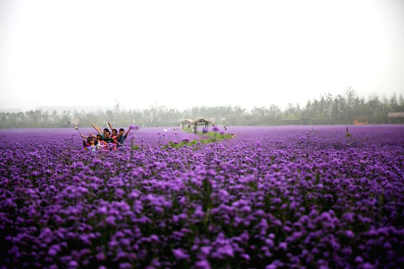 QINGDAO, July 18, 2016 - Tourists enjoy themselves in a verbena flower field in western coast economic zone in Qingdao, east China's Shandong Province, July 17, 2016. The verbena fields here, which ...
