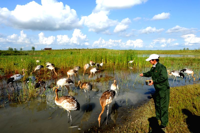 A working staff feed young red-crowned cranes at the Zhalong Natural Reserve in Qiqihar, northeast China's Heilongjiang Province, Aug. 17, 2014.