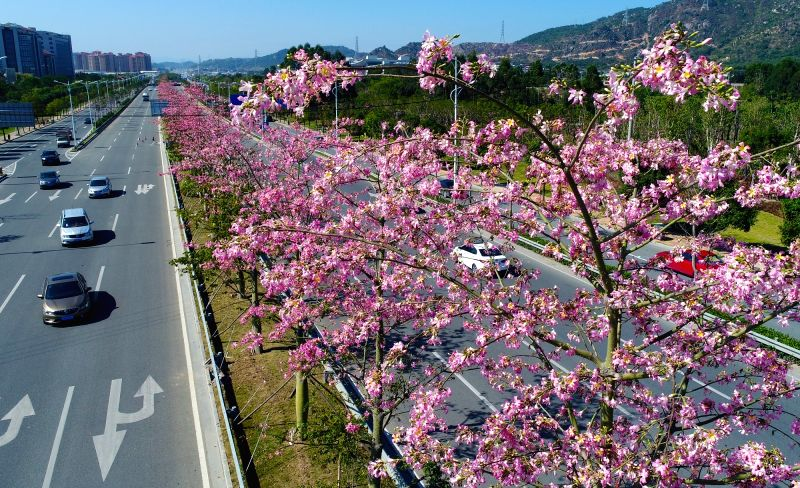 QUANZHOU, Nov. 28, 2017 - Vehicles run past blooming kapok trees in Quanzhou City, southeast China's Fujian Province, Nov. 27, 2017.