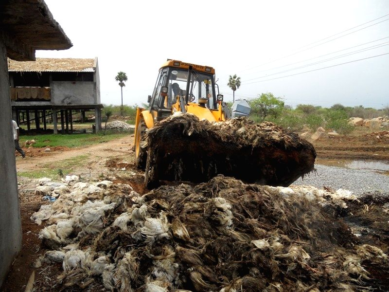 Ranga Reddy: Poultry being culled in Telangana after bird flu was reported from the state, on April 15, 2015.