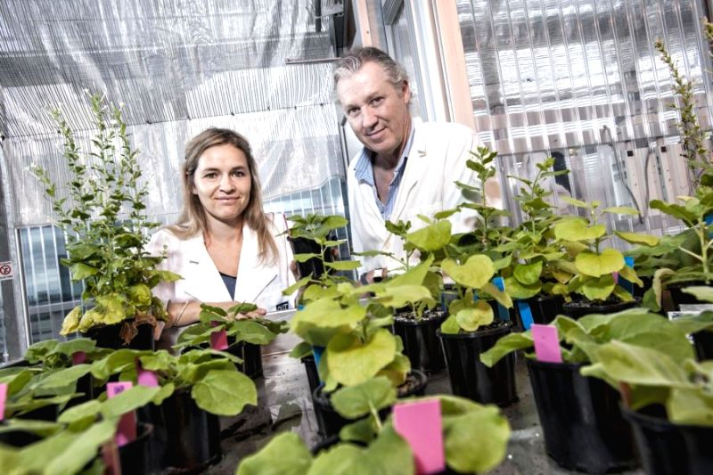 Researchers Dr Julia Bally and Professor Peter Waterhouse with the ?magical? plant with huge genome properties that can have the potential to be the ?laboratory rat? of the molecular plant world. ...