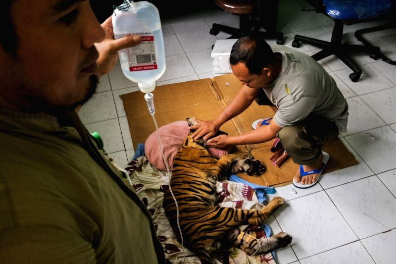 RIAU, May 26, 2017 - Veterinary from the provincial Riau Natural Resources Conservation Agency (BKSDA) check the condition of a dying Sumatran Tiger cub which was saved by a farmer at Bengkalis, in ...