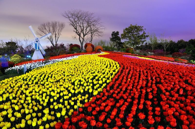 Tulip flowers are in blossom at the Botanical Garden in Rizhao, a coastal city of east China's Shandong Province, April 16, 2014.