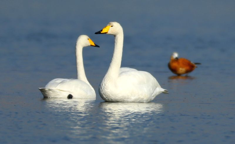 Whooper swans look for food on the Liangchenghekou Wetland in Rizhao, east China's Shandong Province, Dec. 13, 2014. More than 50 species of birds came to the ...