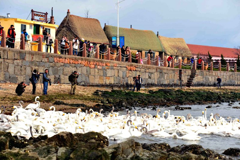 Rongcheng (China): Tourists take photos of swans in Rongcheng, east China's Shandong Province, Nov. 28, 2014.  Several tens of thousands of swans migrating from Siberia converged in Rongcheng to pass