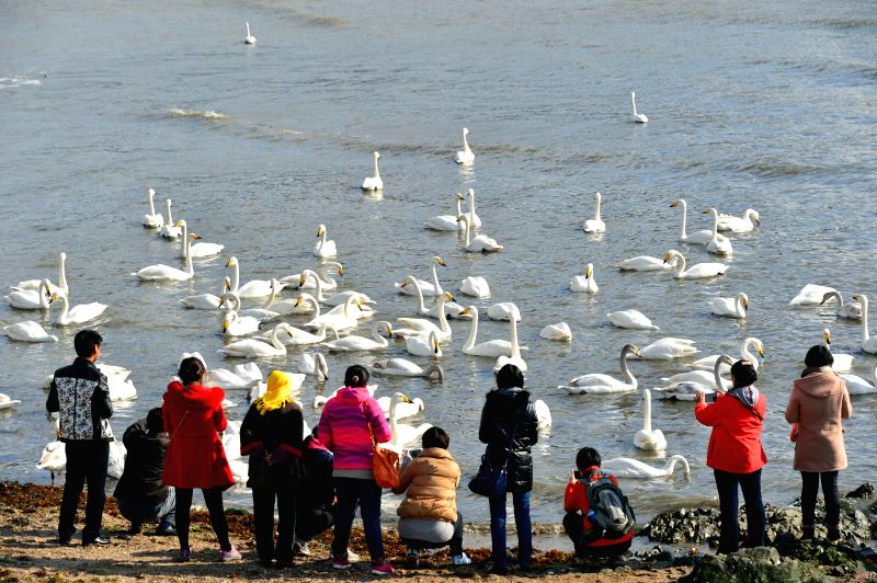 Rongcheng (China): Tourists view swans in Rongcheng, east China's Shandong Province, Nov. 28, 2014.  Several tens of thousands of swans migrating from Siberia converged in Rongcheng to pass the ...