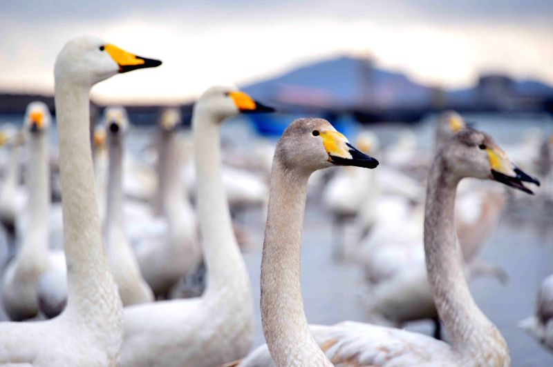 Rongcheng (Germany): Swans play on a lake in Rongcheng, east China's Shandong Province, Nov. 28, 2014.  Several tens of thousands of swans migrating from Siberia converged in Rongcheng to pass the ...