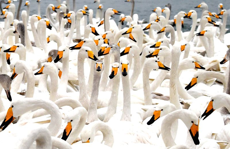 Swans rest on the sea in Rongcheng, east China's Shandong Province, Jan. 27, 2015. Tens of thousands of swans migrating from the north have converged in Rongcheng