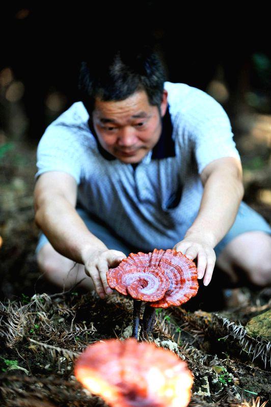 Zhang Yuqiu checks the growth condition of ganoderma in Huaibao Town of Rongshui County, south China's Guangxi Zhuang Autonomous Region, July 10, 2014. The ...