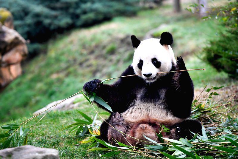 """SAINT-Photo taken on Jan. 13, 2018 shows the male giant panda """"Yuan Zi"""", the father of the panda baby """"Yuan Meng"""" in Zooparc de Beauval, ..."""