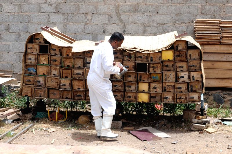 SANAA, July 31, 2018 - A beekeeper checks beehives in Sanaa, Yemen, on July 29, 2018. Known for its purity and therapeutic benefits, Yemen's honey has been hailed as among the best in the world. ...