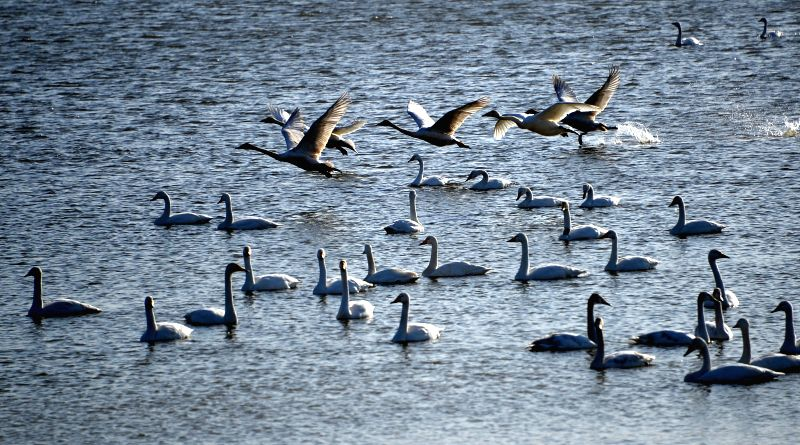 Whooper swans are seen at a wetland in Sanmenxia City, central China's Henan Province, Dec. 16, 2014.