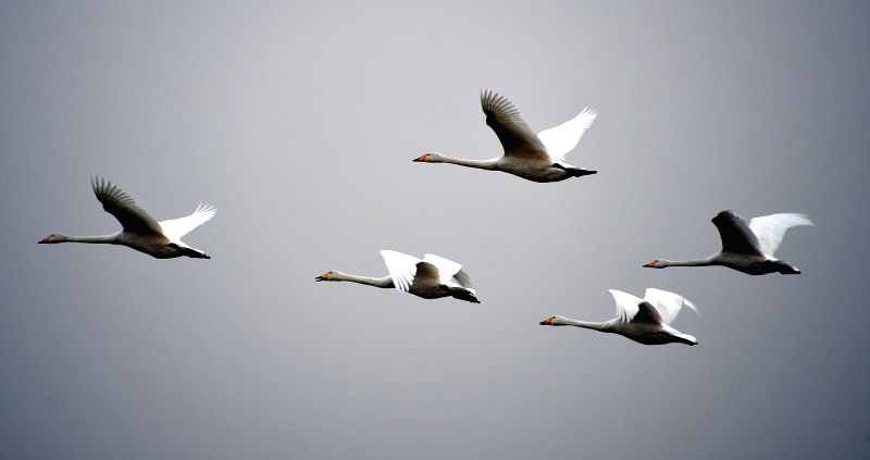 Whooper swans fly over a wetland in Sanmenxia City, central China's Henan Province, Dec. 14, 2014.
