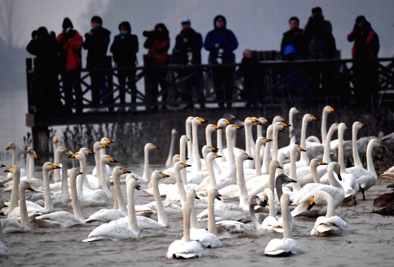 CHINA-HENAN-SANMENXIA-WHITE SWAN