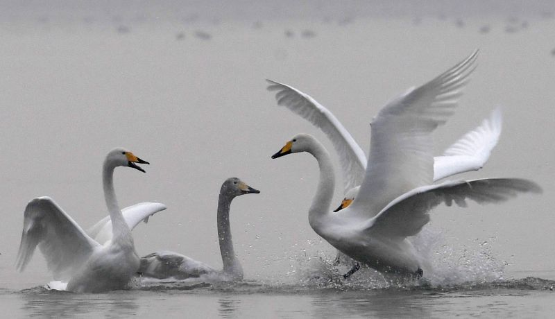 SANMENXIA, Dec. 3, 2017 - White swans are seen at a wetland in Sanmenxia, central China's Henan Province, Dec. 3, 2017. Migratory white swans fly from Siberia to spend the winter time in the wetland.