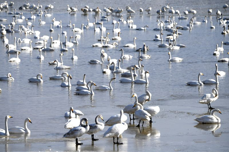 SANMENXIA, Jan. 31, 2018 - White swans are seen at a wetland in Sanmenxia, central China's Henan Province, Jan. 31, 2018. Thousands of migratory white swans spend winter here at the wetland.