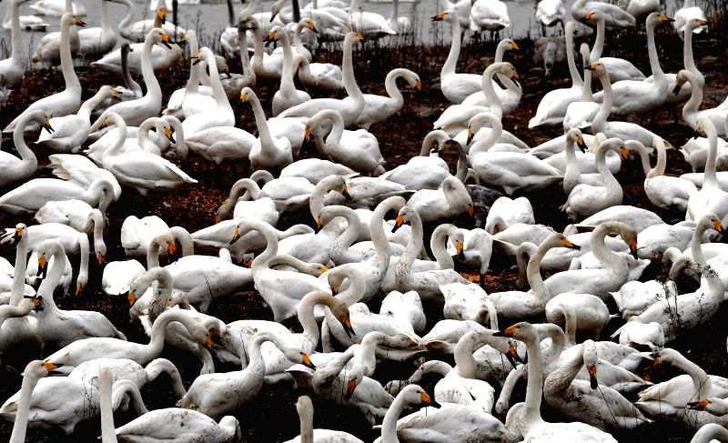 SANMENXIA, Nov. 24, 2018 - White swans are seen at the Yellow River wetland in Sanmenxia, central China's Henan Province, Nov. 20, 2018. White swans have flown from Siberia to the Yellow River ...