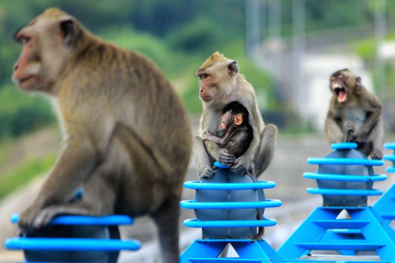 Photo taken on Feb. 3, 2015 shows long-tailed macaques, or Macaca fascicularis, part of the collection of Kreo Cave tourist spot, in Semarang, Indonesia. ...