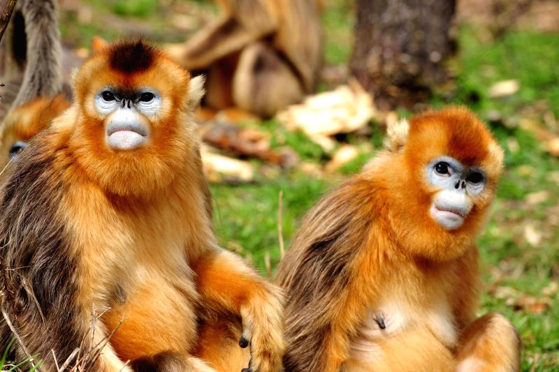 Photo taken on April 27, 2014 shows two golden monkeys at Dalongtan Golden Monkey Research Center in Shennongjia, central China's Hubei Province. The ...