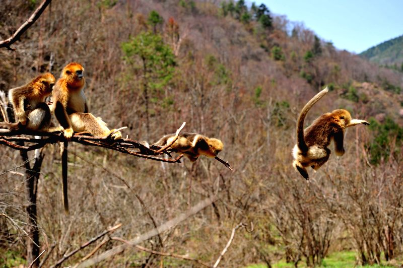Photo taken on April 27, 2014 shows a group of golden monkeys at Dalongtan Golden Monkey Research Center in Shennongjia, central China's Hubei Province. The ...