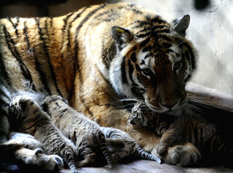 A Siberian tiger and her new-born cubs are seen at Guaipo Siberian Tiger Park in Shenyang, capital of northeast China's Liaoning Province, April 8, 2015. A ...