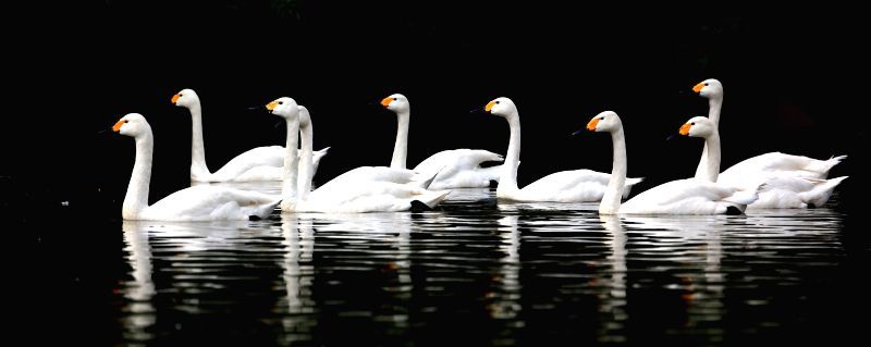 A flock of swans swim in a lake within the Bird Island Wildlife Park in Shenyang, capital of northeast China's Liaoning Province, July 9, 2014. (Xinhua/Yao ...