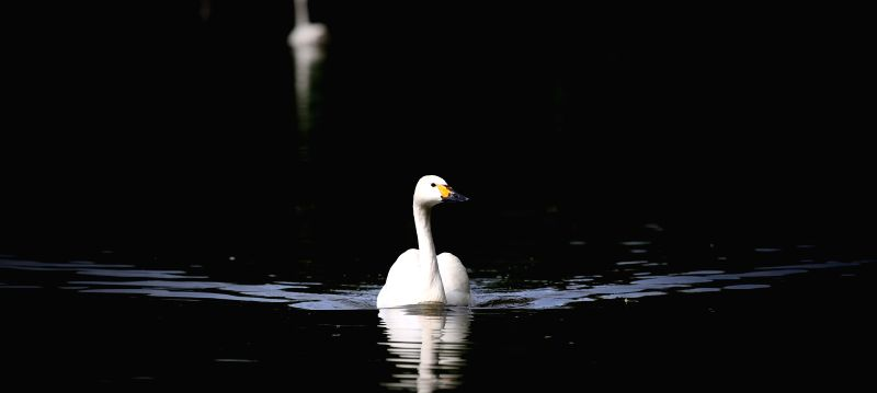 A swan swims in a lake within the Bird Island Wildlife Park in Shenyang, capital of northeast China's Liaoning Province, July 9, 2014.  ...